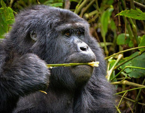 Mountain Gorillas Diet