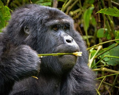 Mountain Gorillas Diet