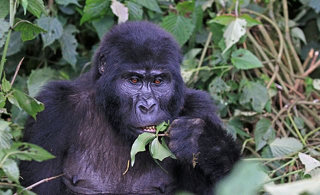 What Do Mountain Gorillas Eat