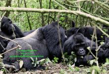 Photo of Sud-Kivu : augmentation du nombre des gorilles au PNKB