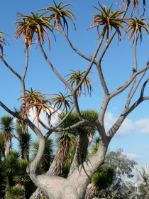 Its a Dr Seuss tree in REAL LIFE!