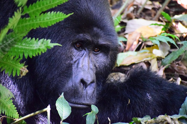 Where Do Gorillas Get Their Vitamin B12?