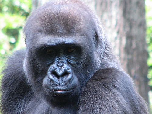 No, It's a Low-Fat, High-Fiber Diet That Keeps Gorillas Lean!