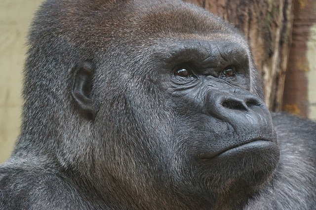 Why Gorillas, Why Not Chimpanzees?
