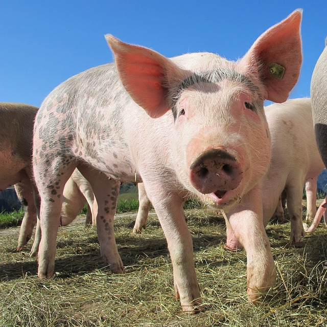 "Pigs are a ""mixing vessel"" for new strains of flu"