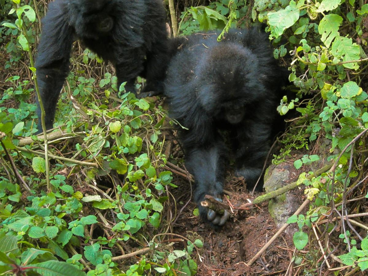 Young Gorillas Outsmart Some Poachers