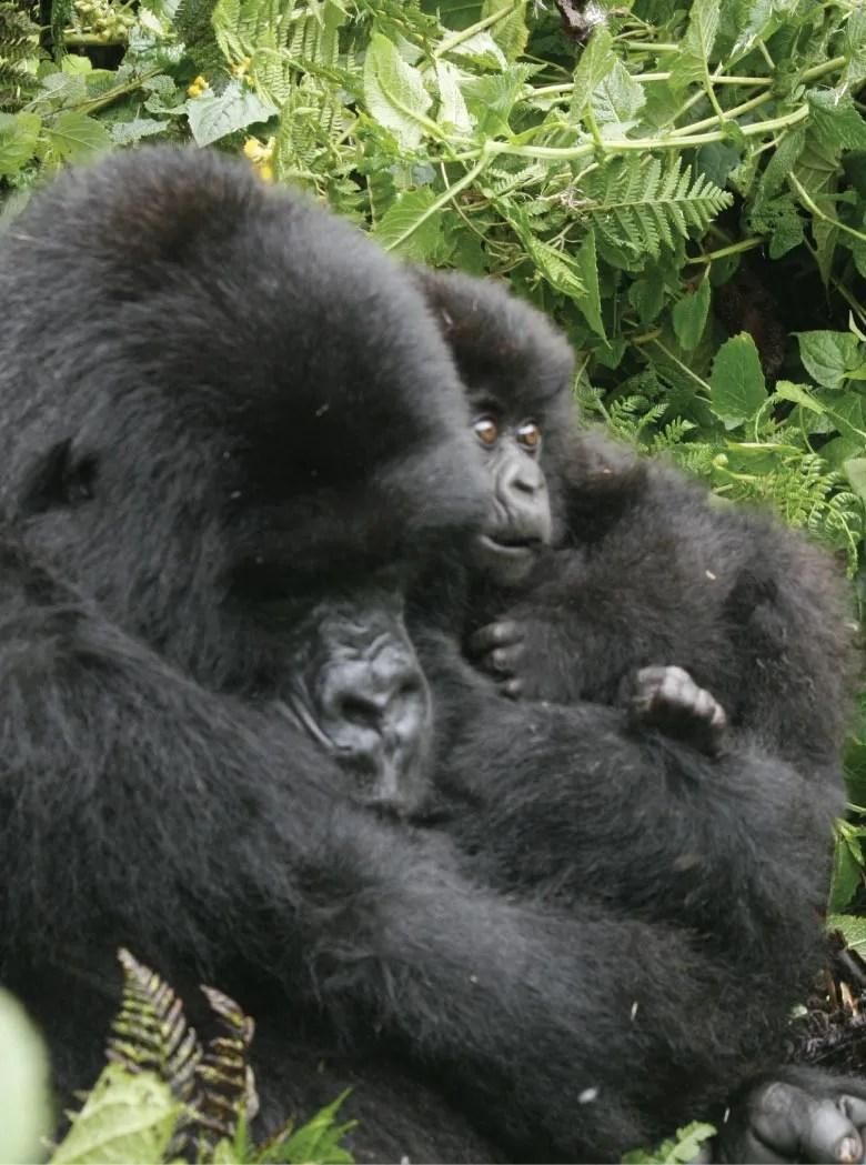 About Uganda Gorilla Trekking Adventures