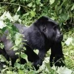 Chimps Safari Express Bikingi Gorilla Group
