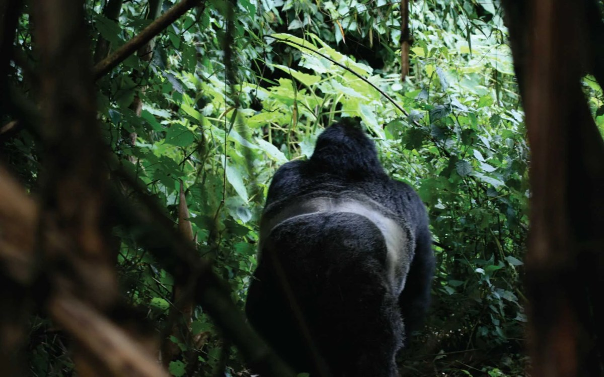 Mountain gorilla Trekking Seasons