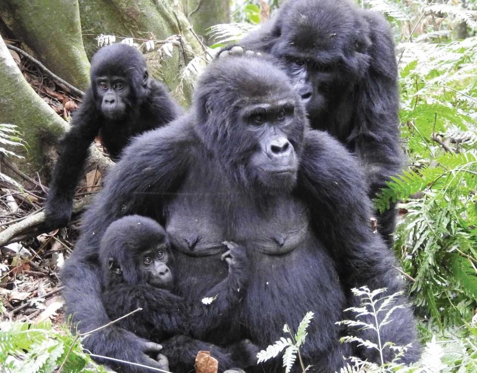 Uganda Gorilla Tracking Safaris, Rwanda Gorilla Trekking