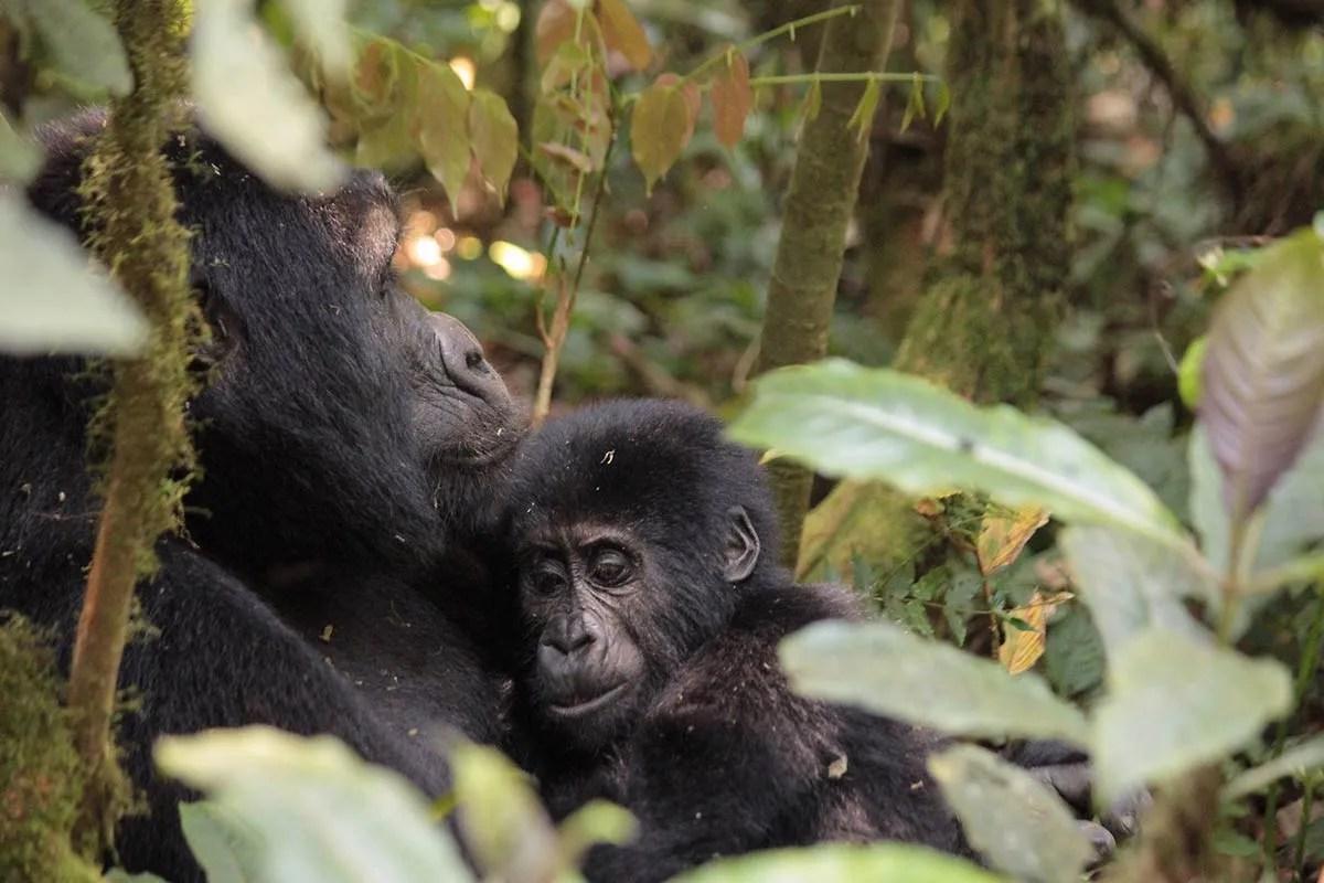 gorilla trekking Rwanda safari