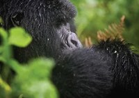 Uganda Gorillas & Chimps Tracking