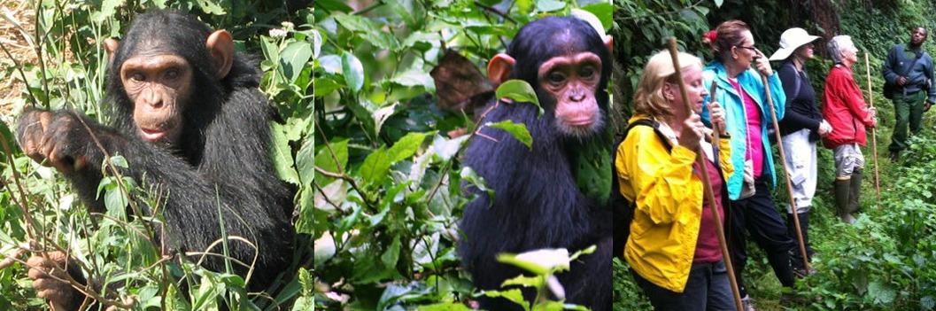 nyungwe chimp trekking
