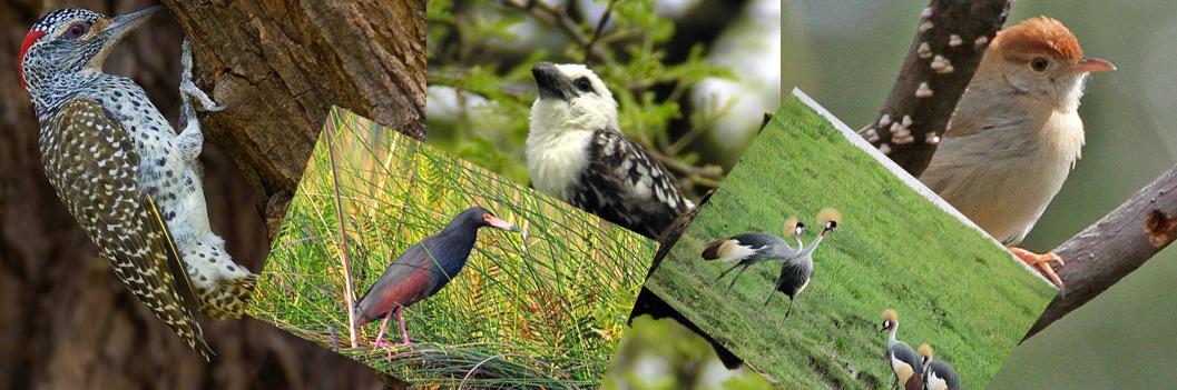 birding- mburo