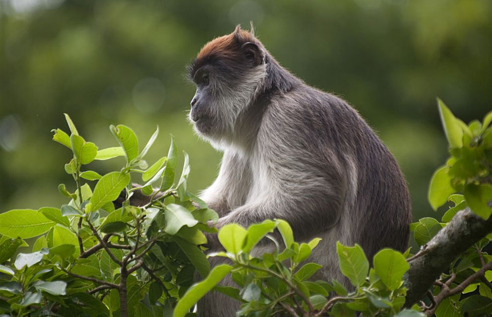 5-days-bwindi-gorilla-tour-kibale-chimps