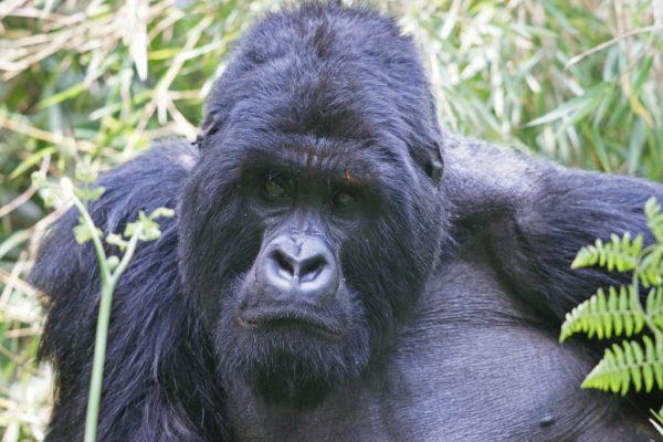 5 Days Gorilla & Chimpanzee Tracking Safari in Rwanda
