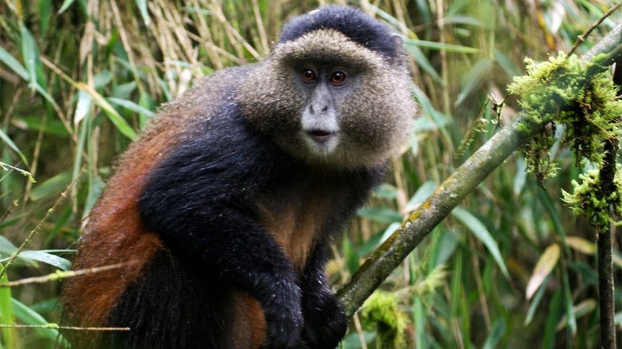 Golden Monkey Tracking Volcanoes National Park