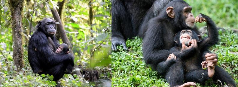 chimpanzee trekking in Kibale Forest