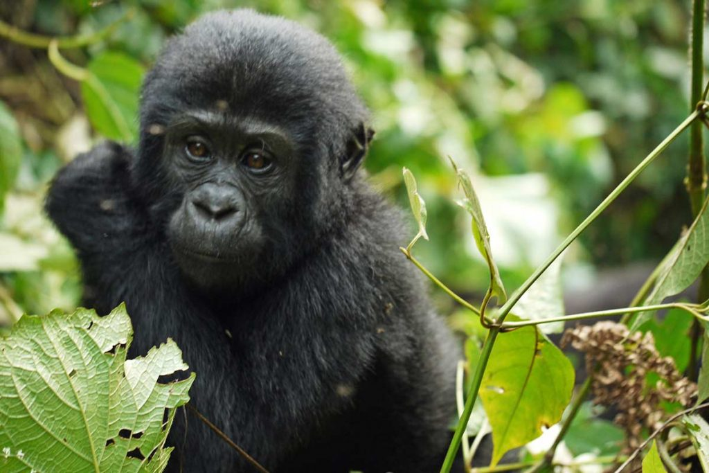 3 Days Uganda Gorilla Safari