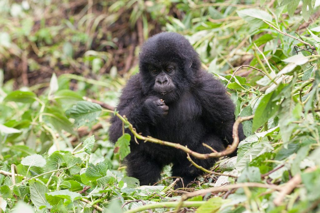 35 Days Rwanda Gorilla Trek – Volcanoes National Park