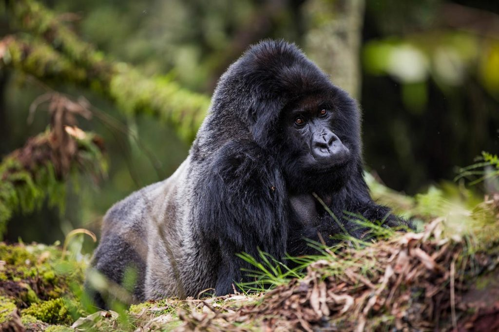 6 Days Gorillas, Monkeys & Bishoke Climb