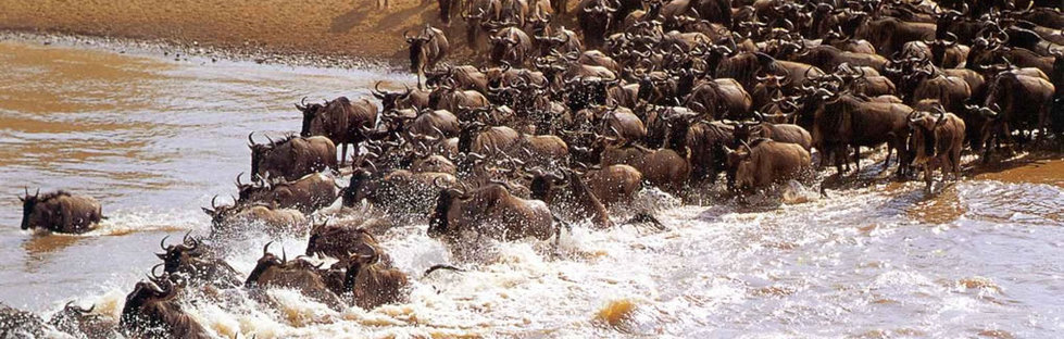 Migration of wildebeest, national park, reserve,  masai mara, serengeti, kenya, tanzania safaris