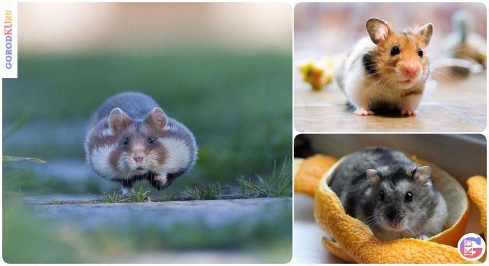 Здоровье домашних хомячков