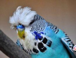 Почему дрожит и хохлится попугай