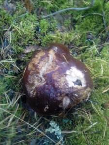 Белый гриб диаметр 10 см.