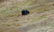 Black bear at Blackcomb