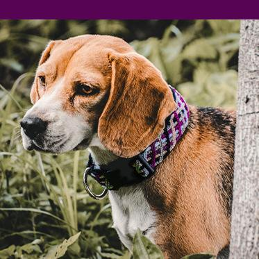 Dog wears purple collar with purple color bar