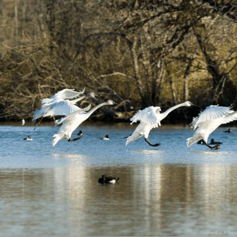 Heber Springs Trumpter Swans Magness Lake