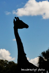 Giraffe Sillhouette - Disney's Animal Kingdom