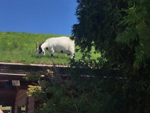 Roof Grazing Goats