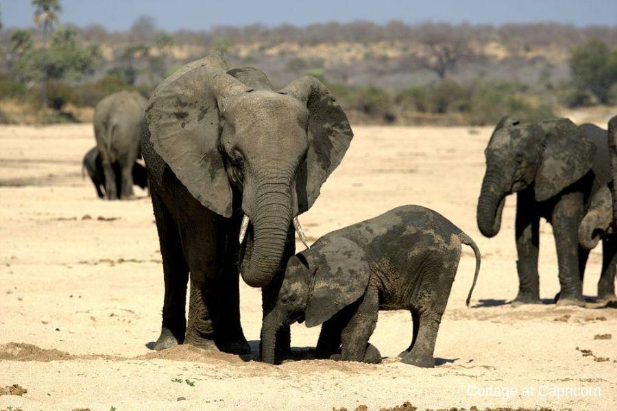 Elephants in Ruaha NP
