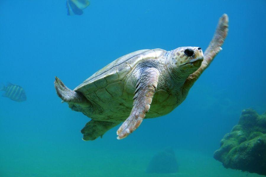 A Sea Turtle Under Water. Guide to Diving in Zanzibar Where To Go. Gosheni Safaris