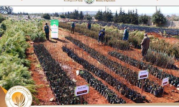 The General Organization for Seed Multiplication continues to complete its plan for the production of forestry seedlings