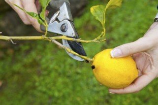 lemon-pruning