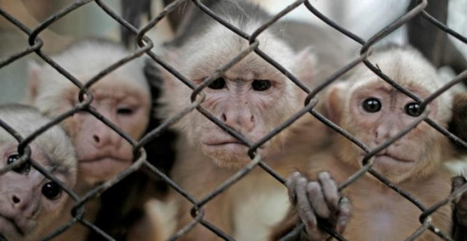 A Cage Of Monkeys