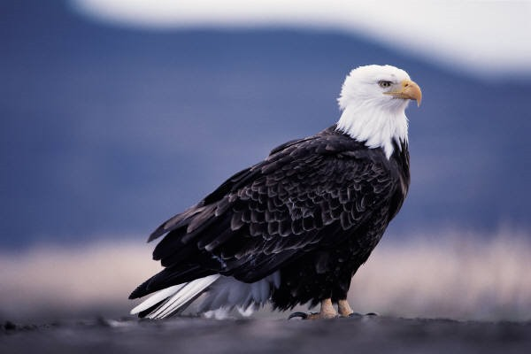 eagle-15-common-animal-messengers-and-their-meaning