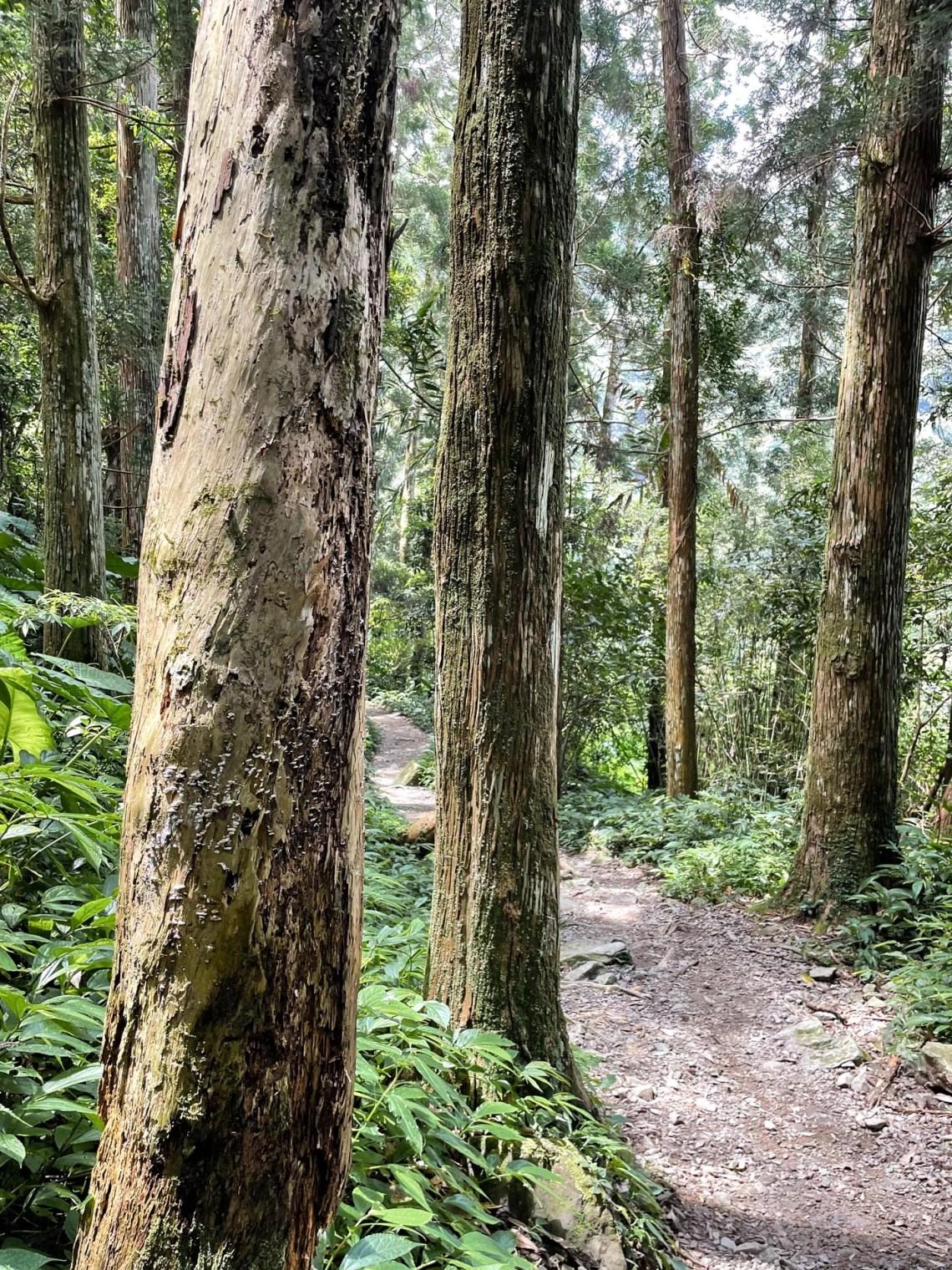 雲森瀑布步道的柳杉