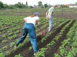 подгортание картошки