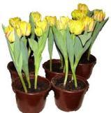 тюльпан в горшке