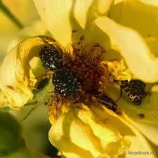 жук-оленка в квітці
