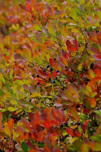autumn-huckleberries