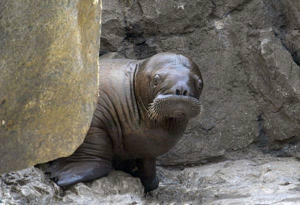 2007_09_walrus2.jpg