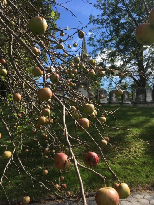 Crab Apples, Green-Wood Cemetery