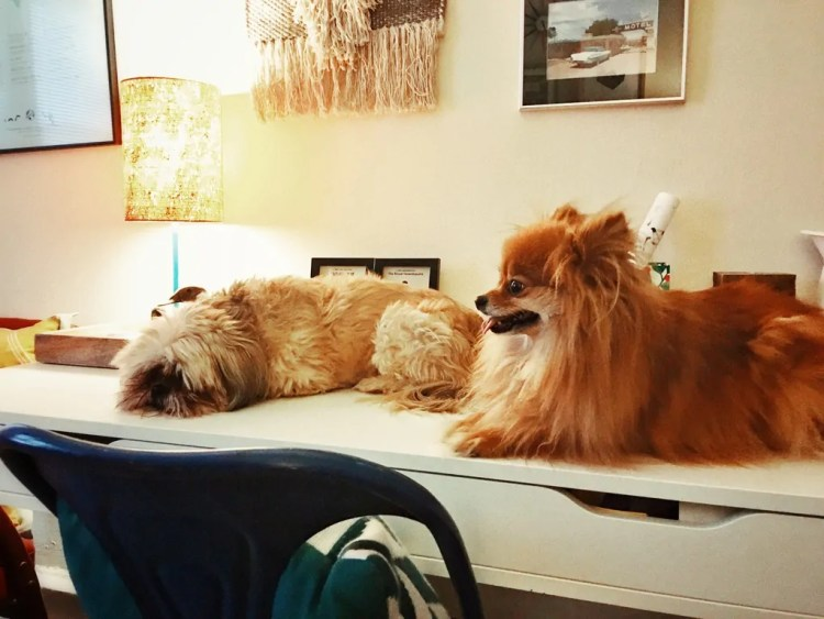 My dog Lucy and his dog Foxy hanging out on my desk while I vacuum