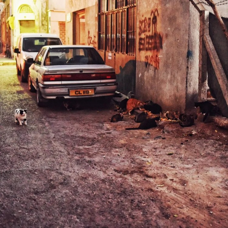 Cyprus has hordes of cats. And they are plotting.
