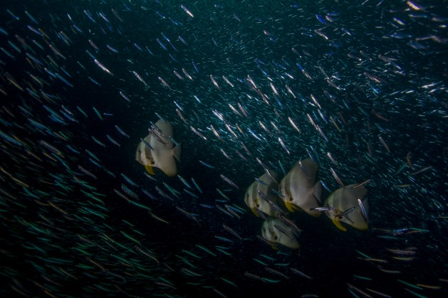 A group of longfin batfish (Platax teira) swim through a shoal of silversides (atheriniformes sp.) at sunset. The various angles of the silversides to the light show off their often overlooked variety of colors. Raja Ampat, Indonesia.